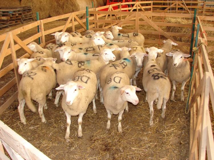 картинка хлева для овцы