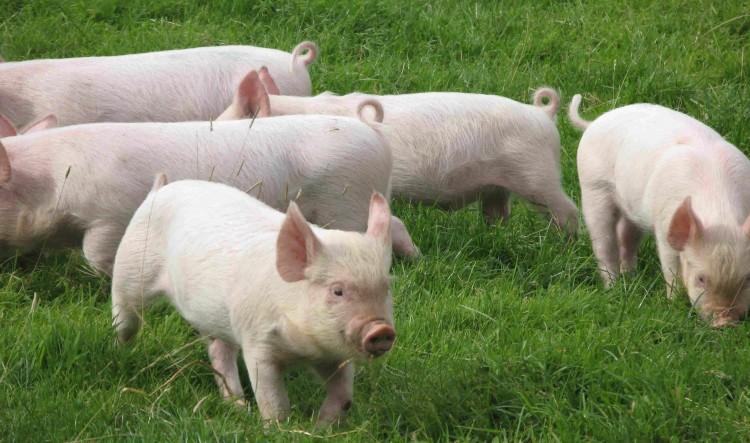 Болезни свиней - инфекционные, неинфекционные заболевания и борьба с ними