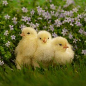 Чем кормить цыплят: рацион питания и виды кормов с первых дней и до взросления (140 фото)