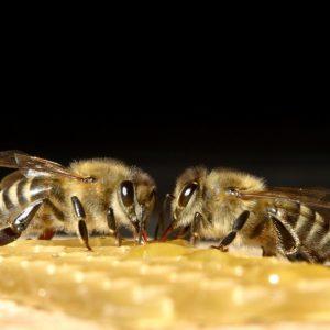 Домашние пчелы — виды, особенности и практические советы по разведению. Чем питаются пчелы и интересные факты о насекомых