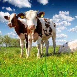 Домашние телята: разведение крупного рогатого скота и особенности выращивания телят. С чего начать и как содержать правильно (120 фото)