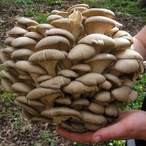 Домашняя грибница — выращивание грибов своими руками. Пошаговое описание технологии для начинающих (135 фото и видео)