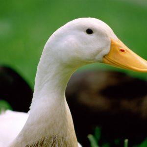 Домашняя утка: правила и особенности разведения, необходимый уход и правильное содержание (видео + фото)
