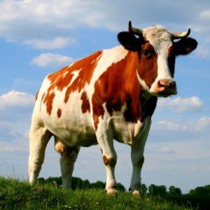 Дойная корова: разведение и технология выращивания крупного рогатого скота. Основные породы и особенности ухода за коровой (115 фото)