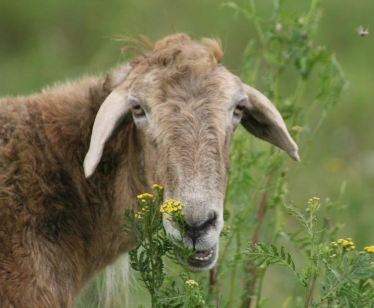 Эдильбаевская порода овец характеристика