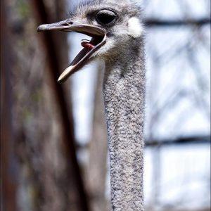 Голова страуса — правила ухода, особенности содержания, ценность ресниц и клюва (105 фото + видео)
