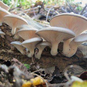 Грибы вешенки: выращивание в домашних условиях для начинающих. Описание гриба и советы по уходу за грибом (125 фото)