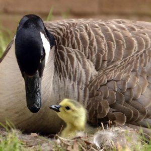 Инкубация гусиных яиц — правила проведения процедуры в домашних условиях и промышленных масштабах (110 фото)
