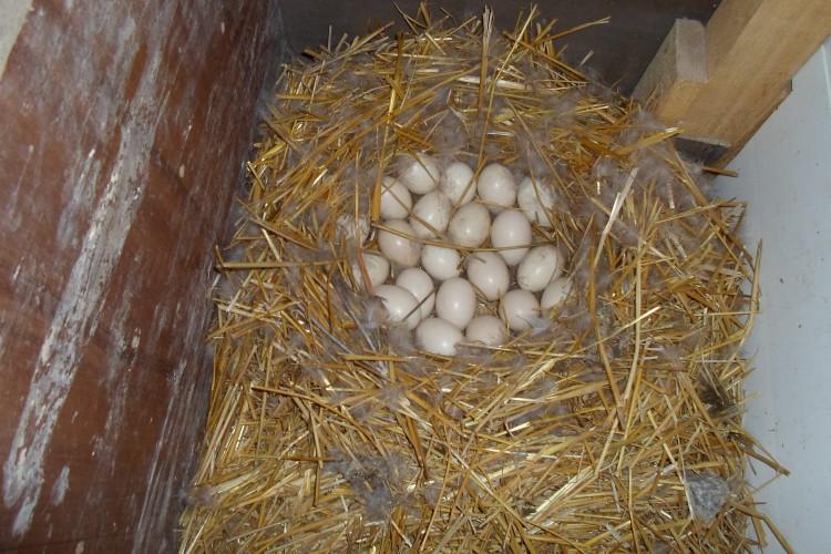 Инкубация утиных яиц - особенности, правила и советы по инкубации