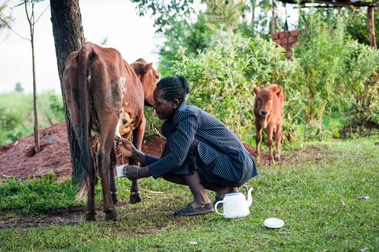 Дойка коров руками