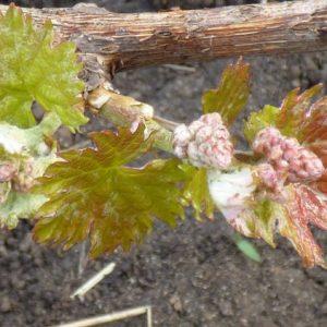 Как обрезать виноград: инструкция для начинающих, этапы обработки и советы по формированию виноградника (70 фото)