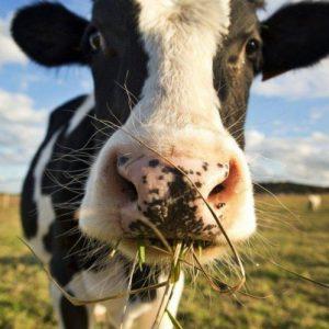 Кормление коров: нормы, дневной рацион питания, добавки, подкормка и советы по выбору состава корма (110 фото)