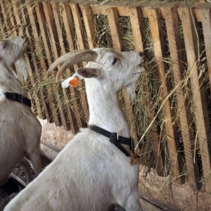 Кормление коз — обзор кормов, рацион питания, уход, организация и правила подачи корма (85 фото + видео)