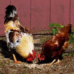 Кормление кур: нормы и рекомендации как правильно кормить цыплят, взрослых кур и петухов. Советы заводчикам и фермерам
