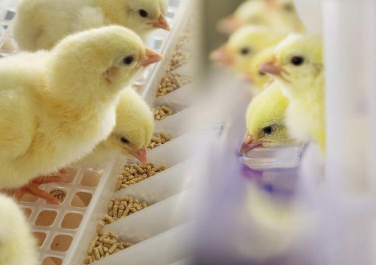 картинки кормят цыплят услуги