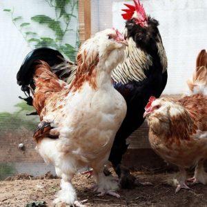Куры породы брама — описание породы, разведение, уход и кормление за домашней птицей (110 фото и видео)