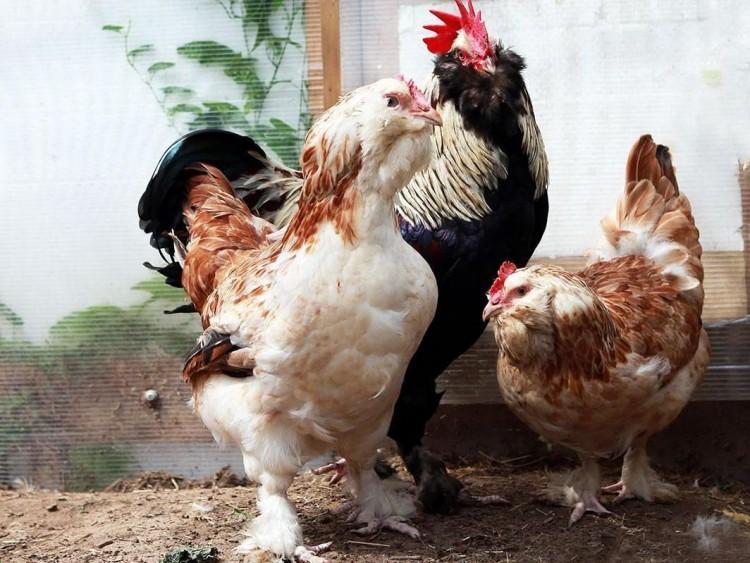 Брама Светлая (Колумбийская): описание породы кур и их фото, особенности выращивания цыплят, характеристики и нюансы содержания птицы