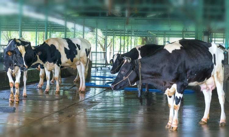 Особенности диагностики и лечения заболеваний сосков вымени у высокопродуктивных коров