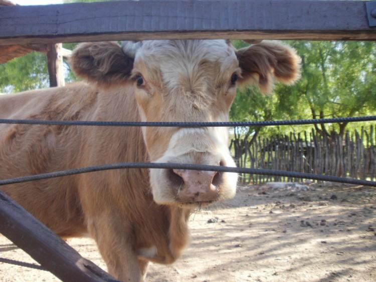 Лечение домашних животных корова thumbnail