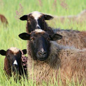 Лучшие овцы — особенности выбора, разведения и советы для начинающих фермеров (видео + 105 фото)