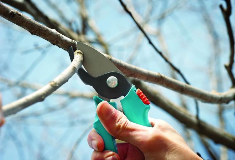Как обрезать двухлетнюю грушу