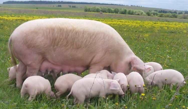 Свинья супоросная перед опоросом
