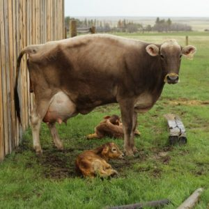 Отел коровы: симптомы, признаки, подготовка, нормы и советы по уходу после отела (105 фото)