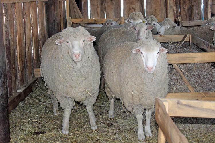 мой ответ короткий бизнес план овцеводства таблицы фото думайте, что малышу