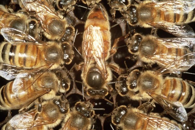 Картинка матка пчелы