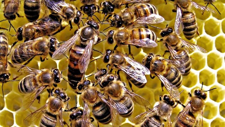 Строение пчелы - особенности строения матки и трутня и рабочей особи.