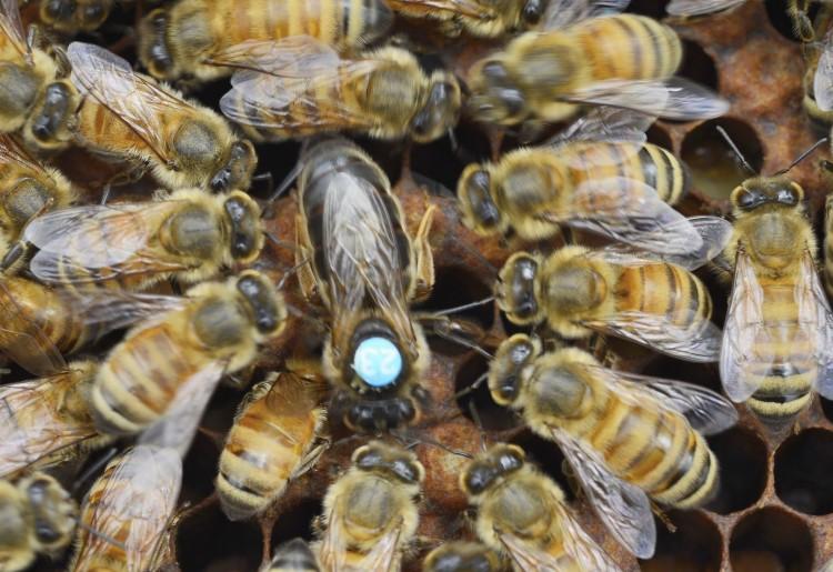 промышленных фото пчел и маток разных пород применяются кулинарии