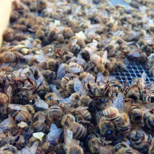 Пчелиный подмор — лечебные свойства, эффект, показания и противопоказания к применению (80 фото)