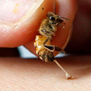 Пчелиный яд — состав, влияние, способы лечения, показания и противопоказания к применению (95 фото)