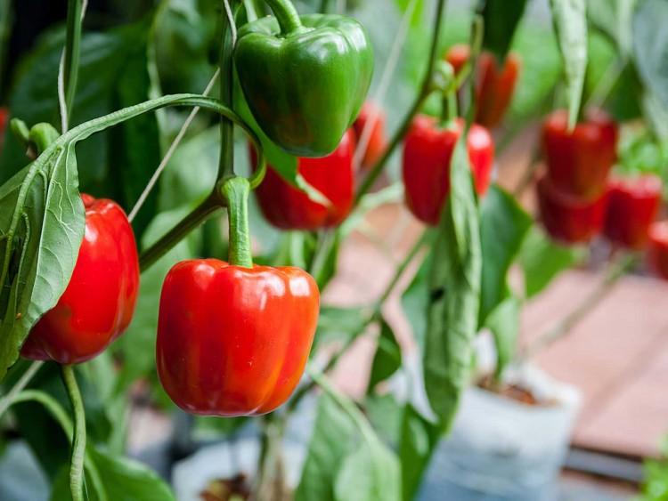 Эффективное выращивание перца в теплице: посадка и уход