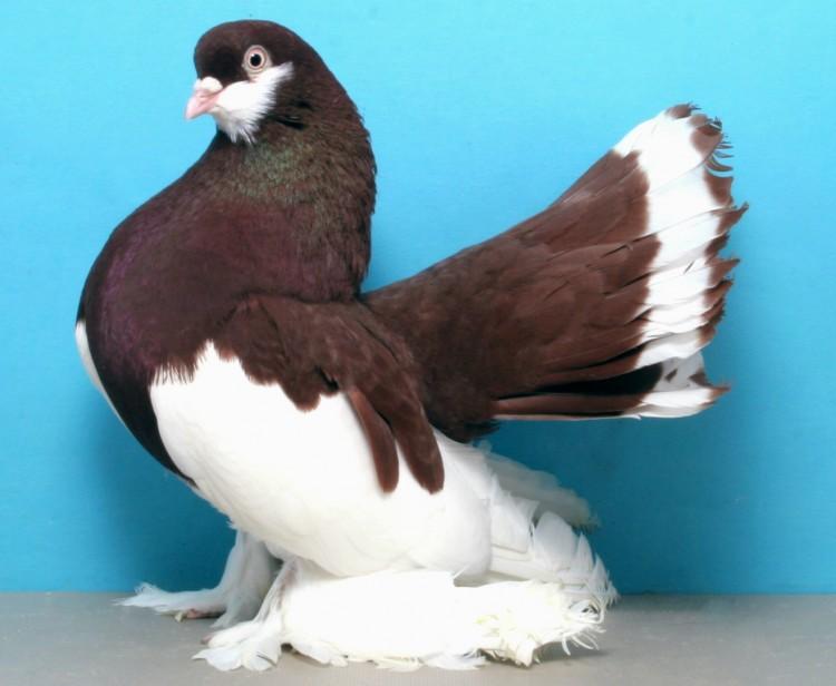 бандитов порода голубей декоративные с фотографией предложения услуги морозовска