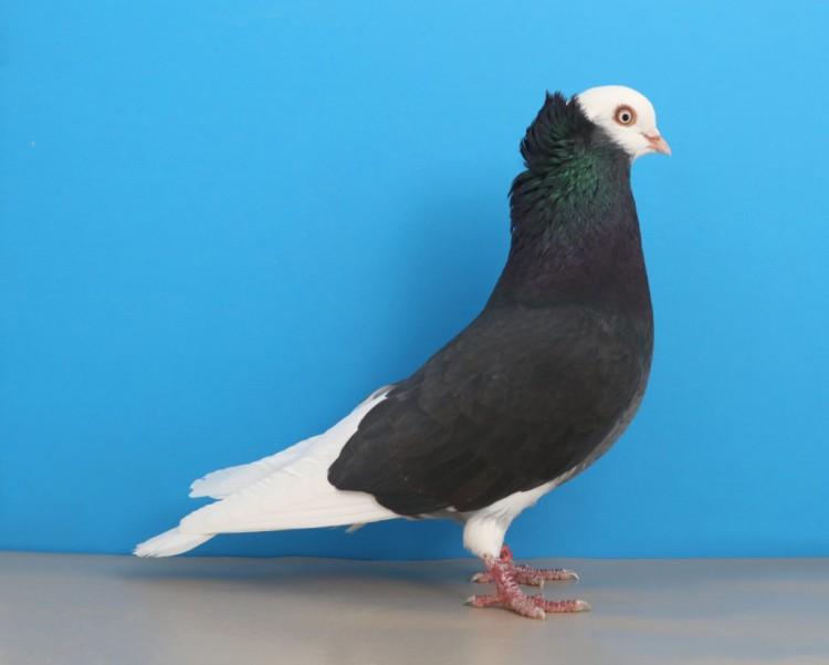 Породы голубей с картинками