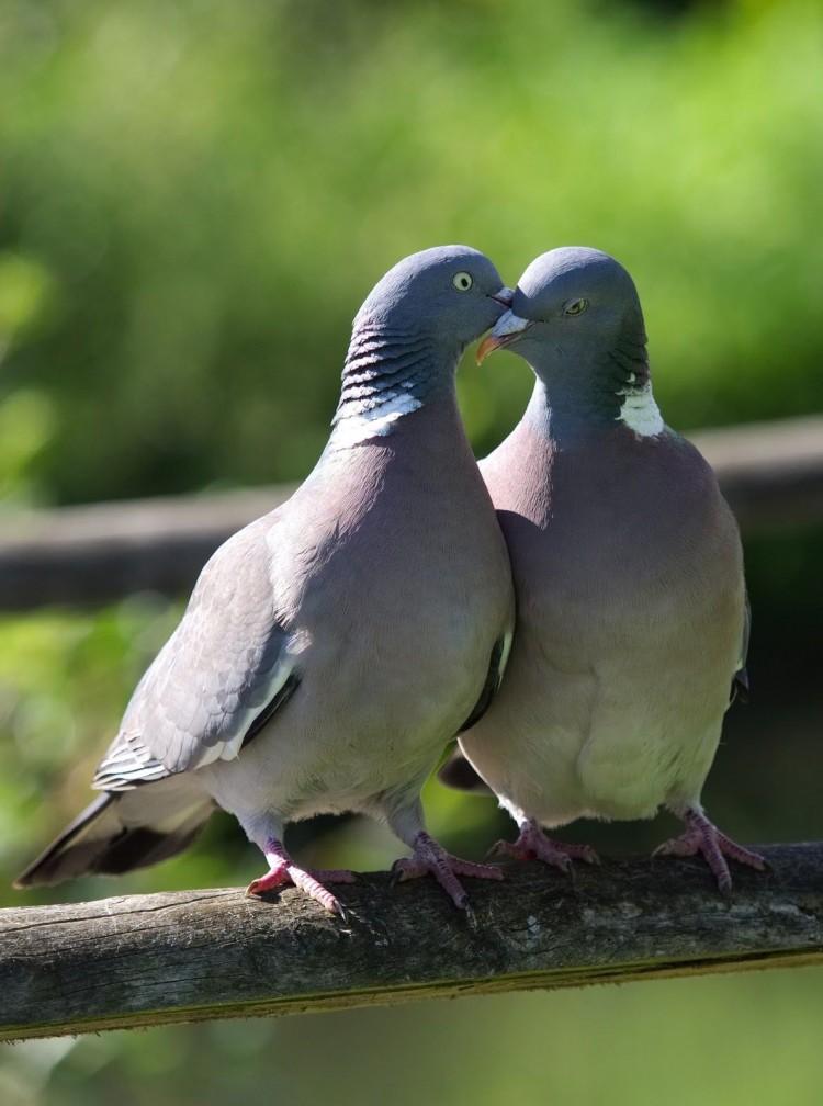 Голуби любви фото