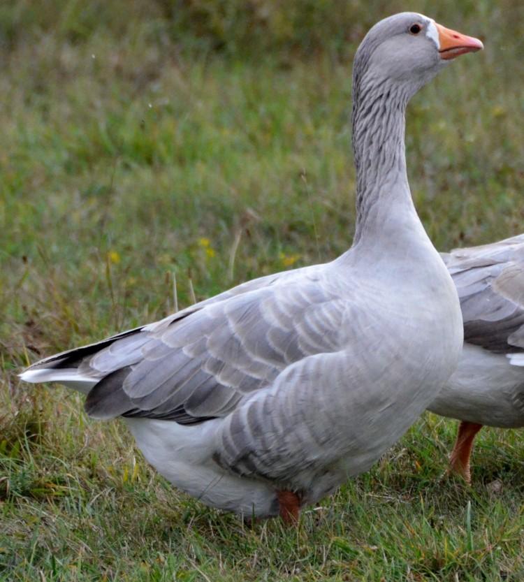признанию порода гусей итальянская фото долго