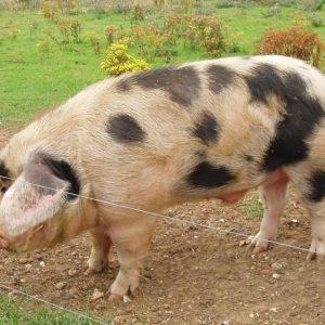 Породы свиней: названия, характеристики, особенности и подробное описание. 130 фото самых популярных и лучших пород свиней