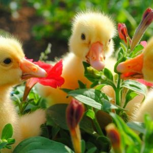 Породы уток — лучшие породы для выращивания в домашних хозяйствах. Характеристики, 120 фото и описание (видео)