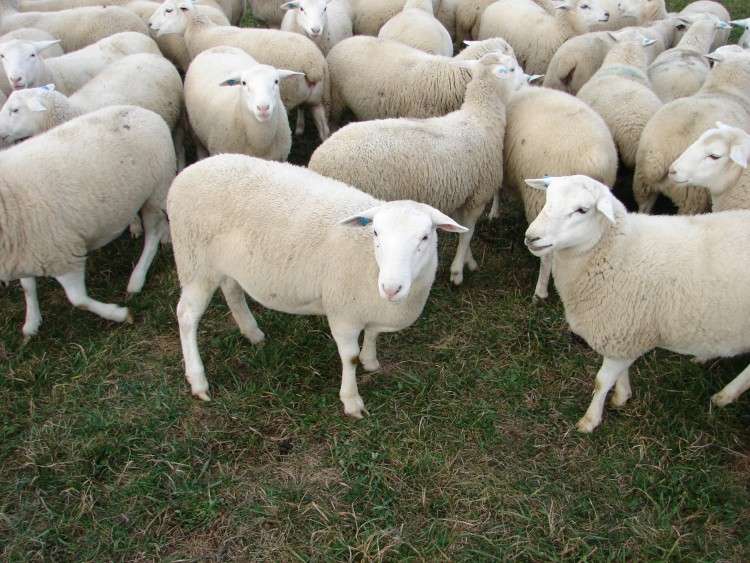 Содержание овец в домашних условиях как избежать ошибок