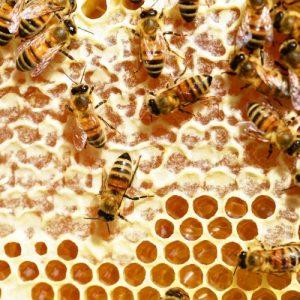 Разведение пчел: детальный обзор и основные правила разведения в домашних условиях. Лучшие способы разведения пчел