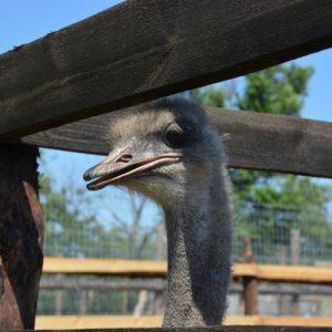 Разведение страусов: особенности выращивания в домашних условиях. Правила ухода и содержания большой птицы (видео инструкция и 85 фото)