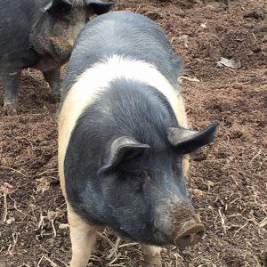 Режем свинью — описание как резать, схемы разруба и советы как правильно забить свинью (120 фото + видео)