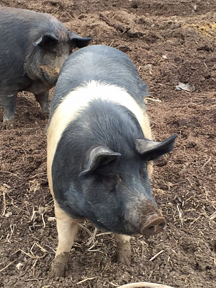 Режем свинью — описание как резать, схемы разруба и советы как правильно забить свинью (120 фото   видео)