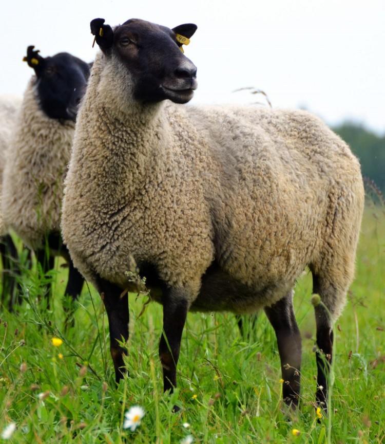 романовские овцы фото общем, средний