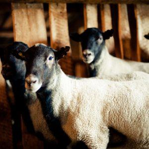Романовские овцы: характеристика, продуктивность, особенности разведения и содержания (95 фото + видео)