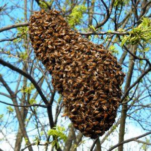 Рой пчел: советы по ловле для начинающих, признаки ухода роя и формирование нового (100 фото)