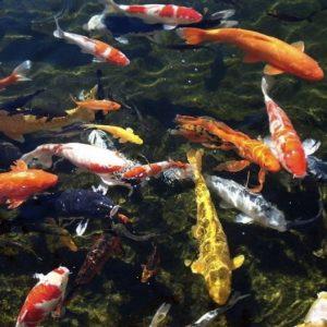 Рыба для пруда — советы по выбору рыбы для разведения и рекомендации по организации рыбного бизнеса