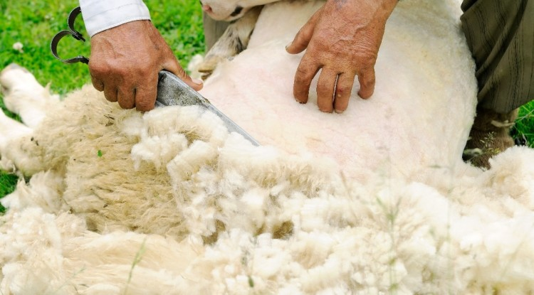 Овца меринос: особенности разведение и содержания — Cельхозпортал